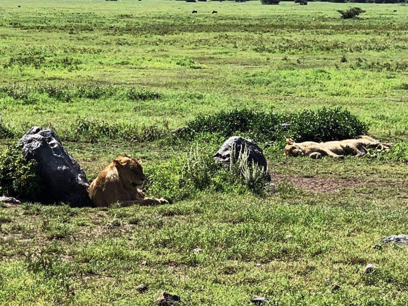 Сієста у левів