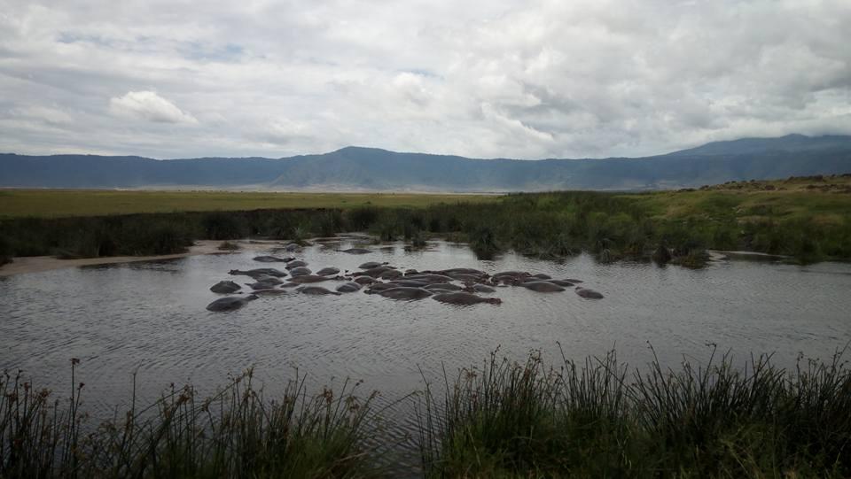 бегемоты в Нгоронгоро