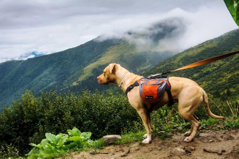 Собака Тора в походе