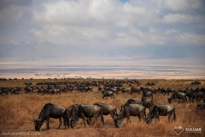 Буйволы на сафари в Танзании