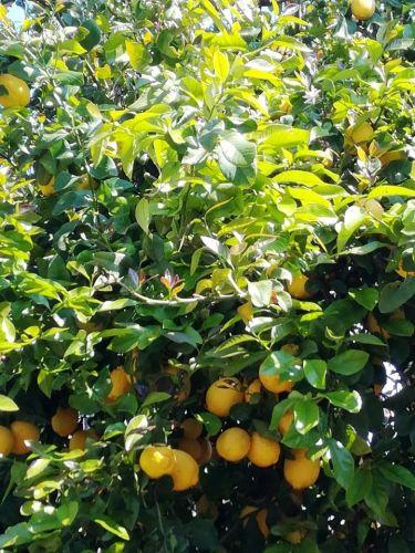 Лимонні дерева