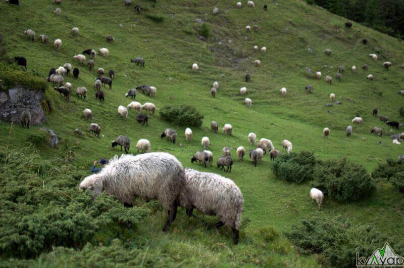 стада овечек