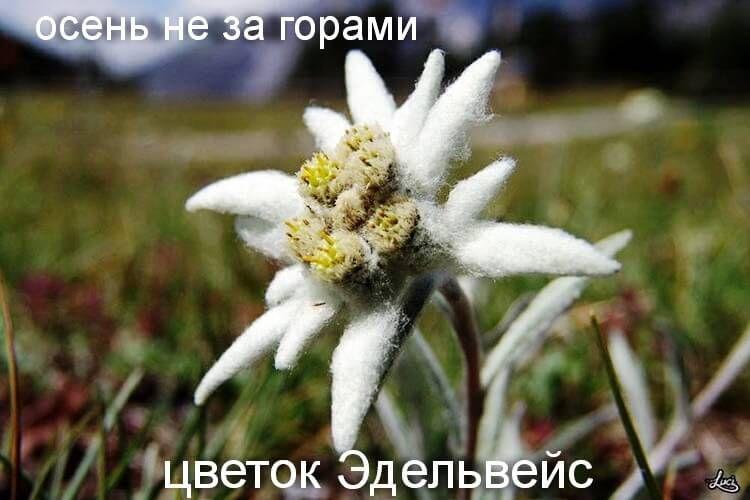 Желанный цветок Эдельвейса