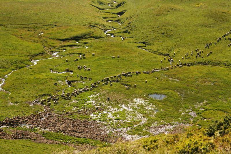 Отары овец в горах Карпат