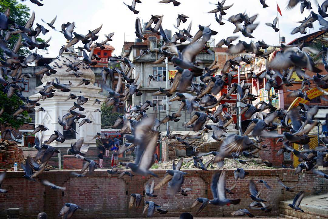 царство голубей в Катманду