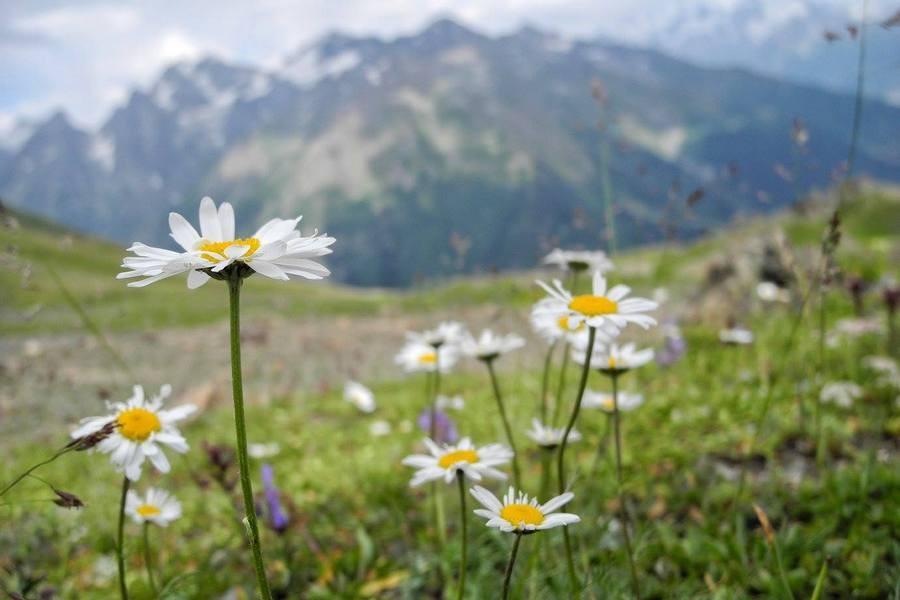 Грузия - цветы на фоне гор