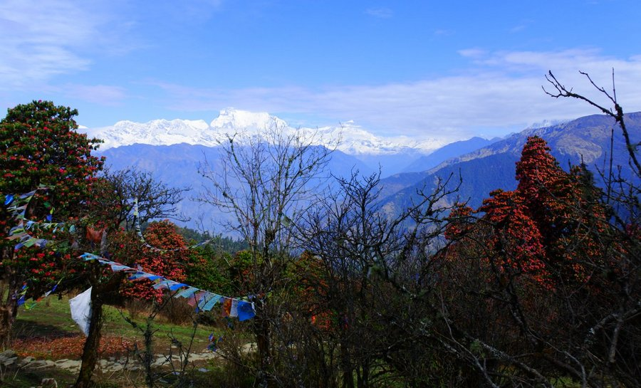 Рододендроны в Непале